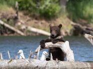 1 of 803's 2 spring cubs July 17, 2020 photo by Lee Pastewka (aka RiverPA)