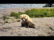 Bear 482s subadults 2020-2
