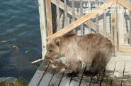 2014 FAT BEAR TUESDAY 2014.09.30 11.00 KNP&P FB POST 435 HOLLYs SPRING CUB aka 719 2014.09.27 PHOTO ONLY