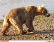 435 Holly June 2019 NPS photo 2021 Bears of Brooks River book page 42 .02
