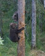 BEADNOSE 409 PIC 2016.07.16 - 2016.07.21 2 SPRING CUBS 909 & 910 TREED TRUMAN EVERTS POSTED 2016.08.27 11.34
