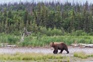 INFO BEARS SEEN 2018.06.16 14.15 BEAR SPOTTED ON LR RANGER RUSS 2018.06.16 15.16 COMMENT PIC 02 ONLY