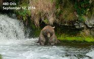 OTIS 480 PIC 2014.09.12 NPS PHOTO 2014 FAT BEAR CONTEST