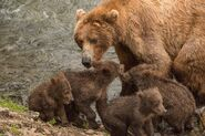 402 and 4 spring cubs July 2015 photo by ©Theresa Bielawski .01
