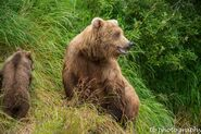 273 and spring cub 809 Late July 2015 photo by ©Theresa Bielawski .03