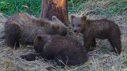 GRAZER 128 PIC 2016.07.16 21.23 HER 3 SPRING CUBS ONLY TRUMAN EVERTS POSTED 2016.08.27 12.57