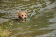 273's spring cub 809 Late July 2015 photo by ©Theresa Bielawski .03