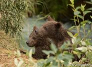 2 of 402's 4 spring cubs July 2015 photo by ©Theresa Bielawski .01