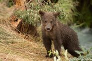 1 of 402's 4 spring cubs July 2015 photo by ©Theresa Bielawski .03