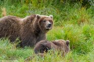 """284 """"Electra"""" and 2 spring cubs September 12-September 17, 2020 photo by ©Theresa Bielawski .03"""
