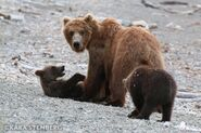 """284 """"Electra"""" and 2 spring cubs July, 2020 photo by Kara Stenberg from Brooks Lodge's August 31, 2020 Facebook post"""