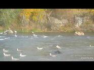 "482 Subadult ""Marshmallow"" at the Falls-Oct 2nd 2020"