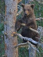 BEADNOSE 409 PIC 2016.07.19 10.11 1 of 2 SPRING CUBS IN NANNY TREE TRUMAN EVERTS POSTED 2020.02.02 08.22