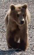 INFO BEARS SEEN 2018.05.31 SUBADULT OBSERVED TODAY per RANGER RUSS 2018.05.31 16.30 COMMENT PIC ONLY ZOOM