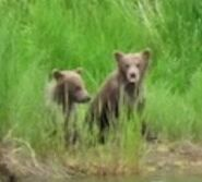 AMANDA THOMPSON COMMENT 2018.07.04 23.12 re 132 & 2 SPRING CUBS & DECEASED CUB 01 & 02 PIC 03 ONLY ZOOM