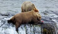505 INFO 2015.07.28 KNP&P FB POST BEARCAM BEAR PROFILE POST PHOTO 2 STEALING FROM 409 BEADNOSE