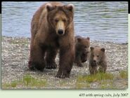 130 TUNDRA PIC 2007.07.xx 409 BEADNOSE w SPRING CUBS 130 TUNDRA & ARCTIC in 2012 BoBr iBOOK 01