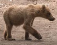INFO BEARS SEEN 2018.06.02 MORNING BLOND SUBADULT 128s RUNT MAYBE RANGER RUSS 2018.06.02 10.28 COMMENT PIC 02 ONLY ZOOM