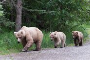 INFO BEARS SEEN 2018.06.17 435 & 2 YEARLINGS & 3 SUBADULTS RANGER RUSS 2018.06.17 13.47 COMMENT PIC 02 ONLY
