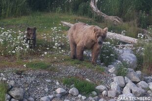 BL FB POST 2020.07.15 08.33 435 HOLLY w REMAINING SPRING CUB HAD 2 LOST 1 w PHOTO BY KARA STENBERG 435 & REMAINING SPRING CUB PIC ONLY