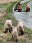 INFO BEARS SEEN 2018.05.24 - 2018.05.30 128 w 2 & 409 w 2 SPIT RD KNP&P 2018.06.01 06.01 FB POST PIC ONLY ZOOM