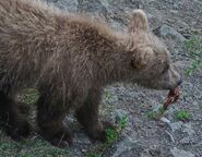 GRAZER 128 PIC 2016.07.16 - 2016.07.21 LARGEST SPRING CUB TRUMAN EVERTS POSTED 2016.08.28 15.46