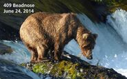 2014 FAT BEAR TUESDAY 2014.09.30 10.30 KNP&P FB POST 409 BEADNOSE 2014.07.24 PHOTO ONLY