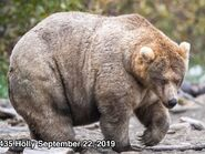 2019 FAT BEAR WEEK 2019.10.05 12.00 KNP&P FB POST ROUND 8 435 HOLLY 2019.09.22 NPS L CARTER PHOTO ONLY