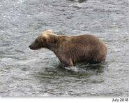 909 July 2018 NPS photo 2019 Bears of Brooks River book, page 34