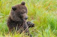 """1 of 284 """"Electra's"""" 2 spring cubs September 12-September 17, 2020 photo by ©Theresa Bielawski .01"""