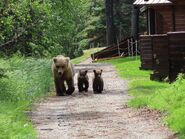 128 Grazer and 2 spring cubs June 18, 2020 NPS photo by Tammy Carmack .02