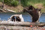 803's 2 spring cubs July 17, 2020 photo by Lee Pastewka (aka RiverPA) .09