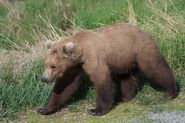 INFO BEARS SEEN 2018.06.01 17.30 SUBADULT w DARK FORARMS IS THIS ONE OF 409s 2.5 YO OFFSPRING RANGER RUSS 2018.06.02 09.55 COMMENT PIC ONLY