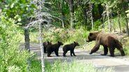 132 and 3 spring cubs July 9, 2021 NPS photo by Ranger Naomi Boak (aka NSBoak)