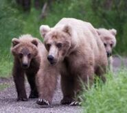 INFO BEARS SEEN 2018.06.17 435 & 2 YEARLINGS & 3 SUBADULTS RANGER RUSS 2018.06.17 13.47 COMMENT PIC 01 ONLY ZOOM