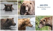 OTIS 480 PIC 2012 vs 2013 BEFORE & AFTER RIGHT EAR & FOREHEAD SCAR INJURIES KARA STENBERG