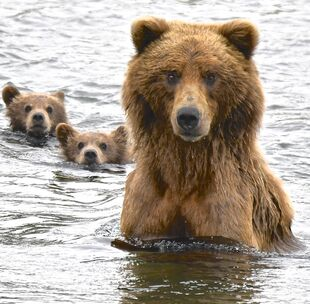 132 and her 2 spring cubs July 3, 2018 approximately 18-03 AKDT photo by Truman Everts .01