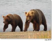 132 and yearling July 2019 NPS photo 2021 Bears of Brooks River book page 37