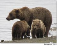 273 September 2019 NPS photo 2021 Bears of Brooks River book page 39