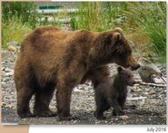 BEADNOSE 409 PIC 2016.07.xx w 1 of 2 SPRING CUBS 2017 BoBr PG 50 01