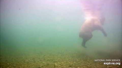 07.02.2018 - Underwater Bear Cam - Subadult or Cub video by Brenda D