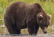 BEADNOSE 409 PIC 2017.09.16 NPS PHOTO ROUND 2 2017 FAT BEAR WEEK