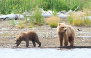 435 Holly's spring cub (719 left) and adopted yearling (503 right) July 25, 2014 photo by Tina Crowe (aka CalliopeJane at Margot Creek