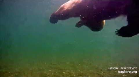 07.01.2018 - Underwater Bear - Swims Right, then Left by Brenda D