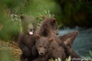 402's 4 spring cubs July 2015 photo by ©Theresa Bielawski .02