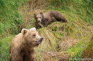 273 and spring cub 809 Late July 2015 photo by ©Theresa Bielawski .01