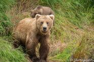 273 and spring cub 809 Late July 2015 photo by ©Theresa Bielawski .05