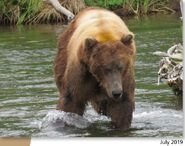 603 (68) July 2019 NPS photo 2021 Bears of Brooks River book page 71 .01