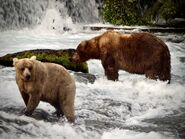 435 Holly (left) and 89 Backpack (right) July 1, 2019 photo by Katmai Conservancy Ranger Naomi Boak