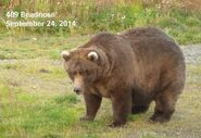 2014 FAT BEAR TUESDAY 2014.09.30 14.00 KNP&P FB POST 409 BEADNOSE 2014.09.24 PHOTO ONLY